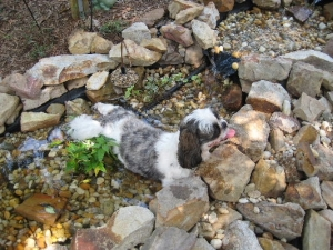 Cousin Toby cooling down in his pond