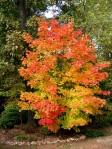 Backyard tree in fall