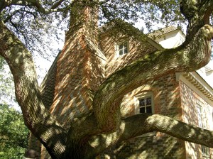 Ancient tree in restored Williamsburg, VA area