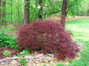 My own personal umbrella (I like to hide under it) is leafed out - the mini-Japanese red maple!  YAY!