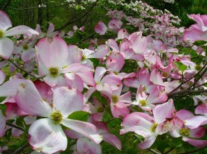 Mom's favorite pink dogwood - up close and personal!