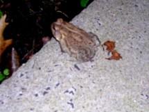 frog introoder