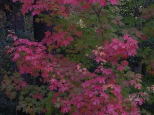 Maples are almost TOO pretty!