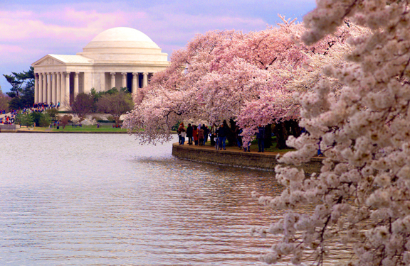 This is how they looked LAST year at the Tidal Basin!