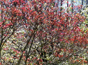 "Pink dogwood just starting to pop with Bradford pear fully ""popped"" through the branches!!"