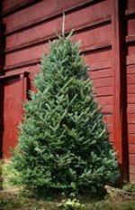 A 5-6 foot Fraser Fir live tree was $24.99