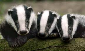 BADGES not BADGERS!!!!!