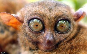 endangeredtarsier
